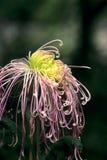 Jaskrawa piękna chryzantema Zdjęcia Royalty Free