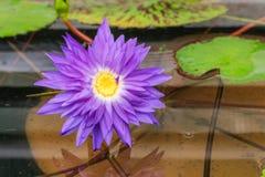 Jaskrawa purpurowa leluja z odbiciem Obrazy Stock