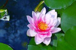 Jaskrawa różowa wodna leluja na błękitnym tle obrazy stock