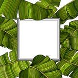 Jaskrawa rama dla teksta z białym tłem w ramie barwiący, zieleni liście bananowy drzewo, ilustracji