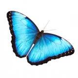Jaskrawa samiec błękitny morpho motyl odizolowywający na bielu z rozciągniętymi skrzydłami Obrazy Royalty Free
