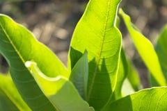 Jaskrawa textured zieleń opuszcza backlit Zdjęcie Stock