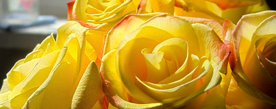 Jaskrawe żółte róże zdjęcia stock