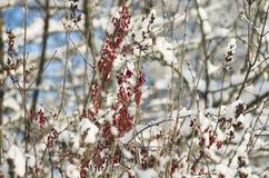 Jaskrawe czerwone jagody berberys pospolity w zima czasie Fotografia Stock