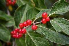 Jaskrawe czerwone jagody na gałąź Obraz Stock