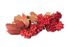 Jaskrawe czerwone jagody Viburnum Obrazy Royalty Free