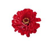 Jaskrawe czerwone kwiat cynie odizolowywać Zdjęcia Stock