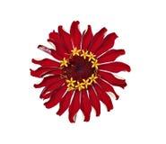 Jaskrawe czerwone kwiat cynie odizolowywać Fotografia Stock