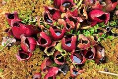 Jaskrawe czerwone miotacz rośliny i zielony mech w bagna bagnie zdjęcie royalty free