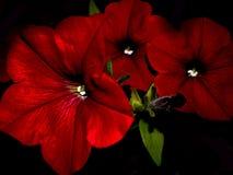 Jaskrawe Czerwone petunie Zdjęcie Royalty Free