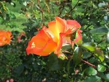 Jaskrawe czerwone róże Fotografia Royalty Free