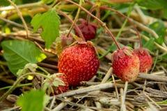 Jaskrawe czerwone truskawki wśród zielonego ulistnienia w ogródzie fotografia stock