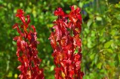 Jaskrawe jesień klonu gałąź Zdjęcia Stock