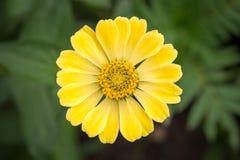 Jaskrawe koloru żółtego ogródu cynie Zdjęcia Royalty Free