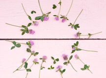 Jaskrawe koniczyny na różowym drewnianym tle Obrazy Royalty Free