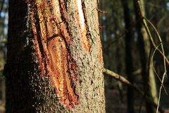 Jaskrawe krople żywica na sośnie - zbliżenie fotografia, lasowy drzewo w świetle słonecznym fotografia royalty free
