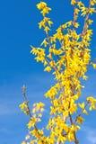 Jaskrawe kwitnące forsycje Zdjęcie Royalty Free