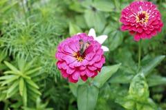 Jaskrawe piękne czerwone cynie kwitną w ogródzie Zdjęcie Stock