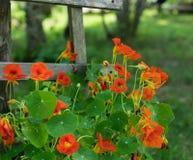 Jaskrawe Pomarańczowe nasturcje Wspina się Drewnianego Sztachetowego ogrodzenie obraz stock