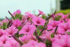 Jaskrawe różowe petunie w plenerowym kwiatu ogródu łóżku zdjęcia royalty free