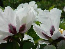 Jaskrawe Różowe peonie Zdjęcie Stock