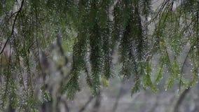 Jaskrawe wodne krople wieszają depresję na sosen gałąź zbiory wideo