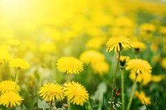 Jaskrawego lata horyzontalny tło, sztandar Dandelions z światłem słonecznym na zielonej trawie dandelions pola zieleni kolor ? obrazy royalty free