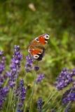 Jaskrawego lata motyli pawi oko na delikatnych purpurowych kwiatach lawenda zdjęcia royalty free