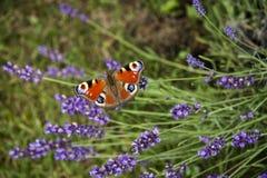 Jaskrawego lata motyli pawi oko na delikatnych purpurowych kwiatach lawenda obraz stock