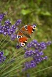 Jaskrawego lata motyli pawi oko na delikatnych purpurowych kwiatach lawenda obrazy stock