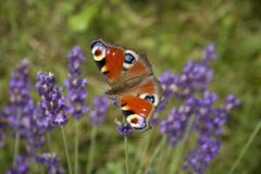 Jaskrawego lata motyli pawi oko na delikatnych purpurowych kwiatach lawenda fotografia royalty free