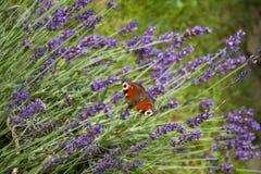 Jaskrawego lata motyli pawi oko na delikatnych purpurowych kwiatach lawenda obrazy royalty free