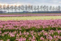 Jaskrawej colourful wiosny kwiatu holenderski pole Obrazy Royalty Free