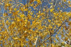 Jaskrawi żółci jesień liście na niebieskiego nieba tle fotografia stock