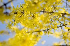 Jaskrawi, żółci kwiaty forsycje w wiośnie, Obrazy Stock