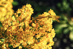 Jaskrawi żółci kwiaty mahoni aquifolium zakończenie up Obrazy Royalty Free