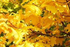 Jaskrawi żółci liście klonowi na drzewie jako tło Obraz Stock