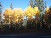 Jaskrawi Żółci Osikowi drzewa w spadku Zdjęcie Stock