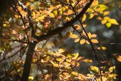 Jaskrawi barwioni liście na gałąź w jesień lesie Obrazy Stock