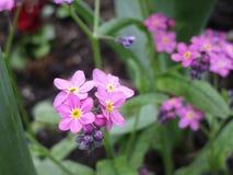 Jaskrawi cudowni różowi niezapominajkowi kwiaty kwitnie w Kwiecień wiośnie przyprawiają zdjęcia royalty free