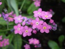 Jaskrawi cudowni różowi niezapominajkowi kwiaty kwitnie w Kwiecień wiośnie przyprawiają zdjęcie stock