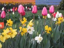 Jaskrawi cudowni tulipanowi kwiaty kwitnie w Kwiecień wiośnie przyprawiają zdjęcia royalty free