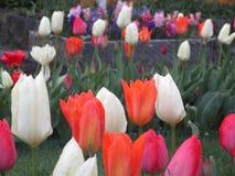 Jaskrawi cudowni tulipanowi kwiaty kwitnie w Kwiecień wiośnie przyprawiają obraz stock