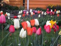 Jaskrawi cudowni tulipanowi kwiaty kwitnie w Kwiecień wiośnie przyprawiają zdjęcie stock