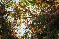 Jaskrawi czerwieni, zieleni liście dziki winogrono bluszcz na tle i zdjęcia royalty free