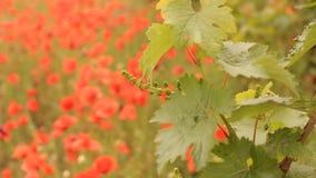 Jaskrawi czerwoni maczki w winnicy zbiory