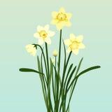 Jaskrawi Daffodils Obraz Stock