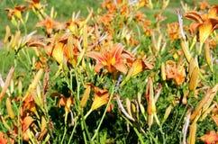 Jaskrawi daylilies w słońcu w ogródzie obrazy royalty free