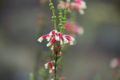 Jaskrawi fynbos kwiaty ciężcy z rosą Obraz Stock