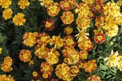 Jaskrawi i mokrzy barwioni kwiaty przy wiosna czasem Obrazy Royalty Free